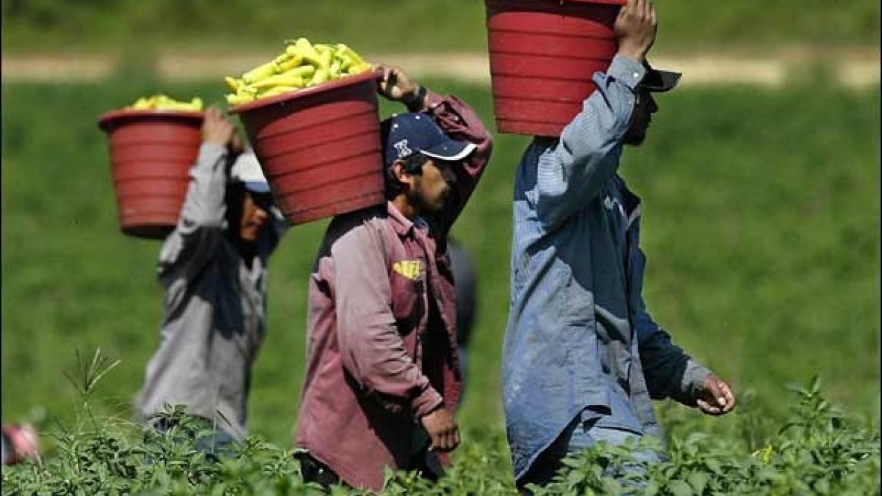 Farmworkers carrying chili peppers on their shoulders in red buckets