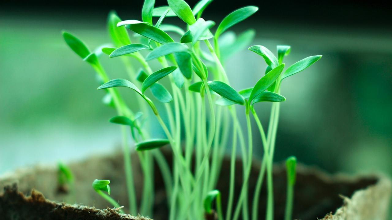 closeup seedlings emerging from soil