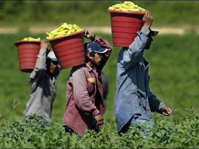 Men carrying red buckets full of green chili peppers